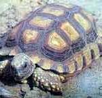 аргентинская черепаха фото