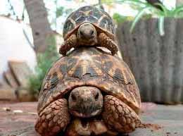 звездчатая-черепаха