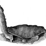 змеиношеея-черепаха