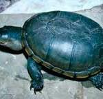 иловая-черепаха