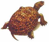 каспийская черепаха фото