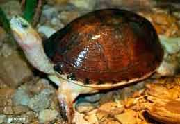 коробчатая азиатская черепаха