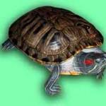 красноухая черепаха