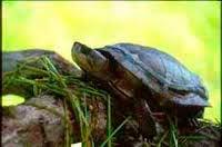мраморная-черепаха