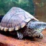 мускусная-черепаха