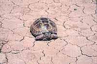 пустынная черепаха фото