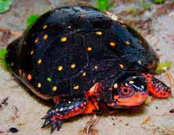 пятнистая-черепаха