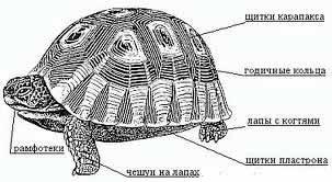 строение-тела-черепахи