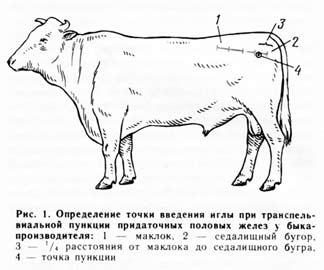 бык-осеменитель