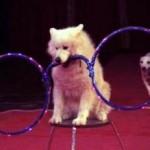 Цирковая-собака-фото