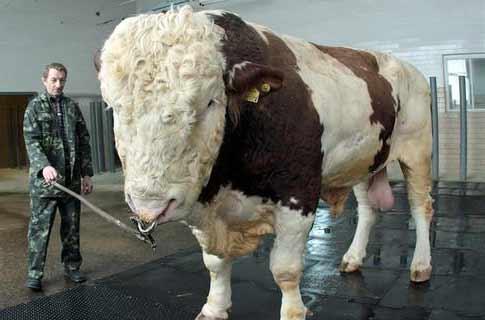 Пенис у быка фото фото 227-191