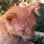 чесотка у кота фото