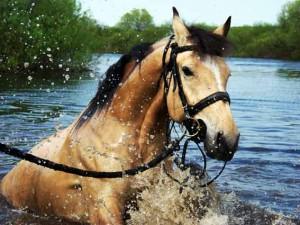 лошади в воде