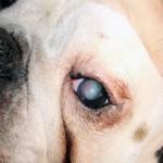 повреждение роговицы глаза у собаки