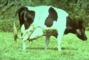 стандарт коровы в европе