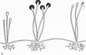 грибы-а