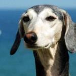собака с висячими ушами