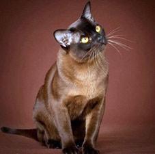 бкрманская-кошка