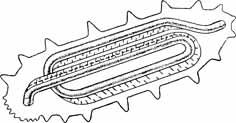 Рис. 21. Схема расположения кишечника и мезентерия дальневосточного трепанга