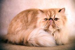 персидский-кот