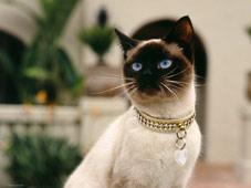 сиамская-кошка