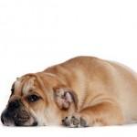 эпилепсия у собаки