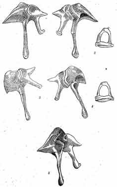Слуховые косточки, malleus, incus, а на некоторых рисунках и stapes, 1 - якутская белка, Sciurus vulgaris jaсutensis О gn. — сверху; 2-те же кости; 5 - якутская белка5-долгопалый суслик, Spermophilopsis Lерtоdactylus - сверху; 9-желтый суслик