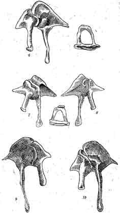 взятые и зарисованные из левой слуховой капсулы. (Сильное увеличение.) снизу, а также и stapes; 3-летяга, Pteromys volnans - снизу и stapes—сбоку; 7-бурундук, Вutamias sibiricus_ 8 -сверху, Light. — сверху; 10-снизу.
