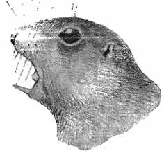 Рис. 13. Голова рыжеватого суслика. Зарисовка в момент крика зверка. Рис. А. Н. Формозова