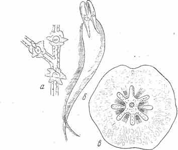 Рис. 7. а — представитель подкласса Hexacorallia, отряд Antipathcria, имеющий всего 6 щупалец; б— типичная ктенофора; несет ' пару щупалец, каждое из которых снабжено двумя рядами боковых ветвей; в — представитель гребневиков из группы Platyctenea с сильно редуцированным числом гребных пластинок — олигомеризация. (Из Догеля).