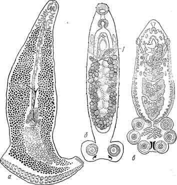 Рис. 12. а — род Heteraxine с асимметричным устройством прикрепительного аппарата: на правой стороне около 30 прикрепительных клапанов, на левой 7; б, в — олигомеризация числа присосок V рода Sphyranura (б) по сравнению с более примитивным родом Polystomum (в). (Из Быховского).