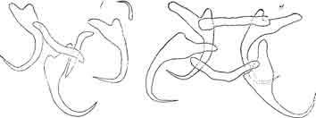 Рис. 11. Справа — типичная форма крючкового аппарата рода Dactylo-gyrus с двумя поперечными пластинками и четырьмя главными крючками; слева — ближе неопределенный тропический вид Dactytogyrus, у которого один из главных крючков в 10 раз меньше других — тенденция к олигомеризации. (Из Быховского).