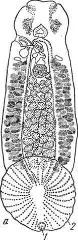 Рис. 13. а —Acanthocotyle с прикрепительным диском при малым увеличении; б— задний конец прикрепительного диска Acanthocotyle при большом увеличении (1 — эмбриональные крючки диска, 2— вторичные крючки на дефинитивном присасывательном диске). (Из Быховского).
